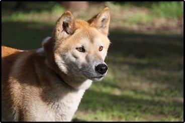 Dingo_other