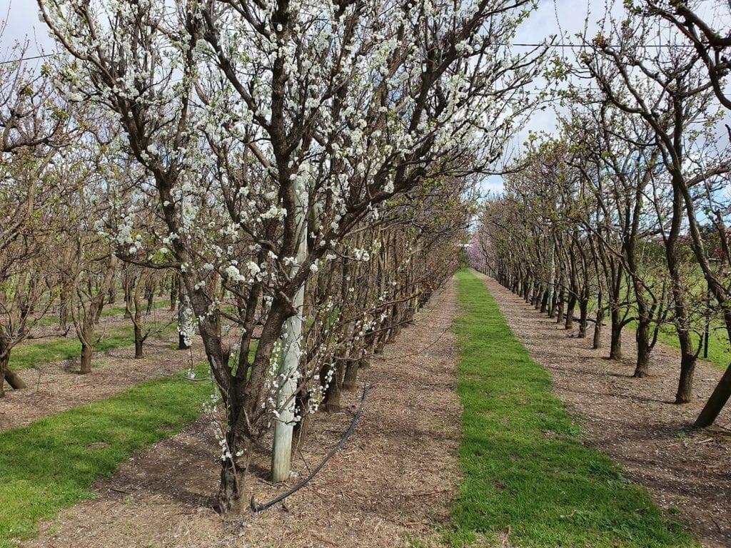 S&R Orchard Saku Blossom Festival, Walliston